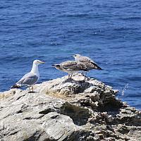 Goéland sur l'île du Rouveau en Méditerranée